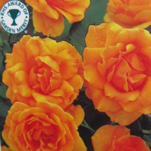 Amber Queen Floribunda Rose