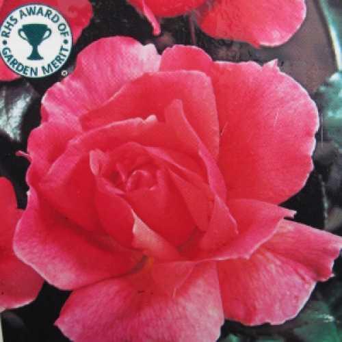 Fragrant Delight Floribunda Rose