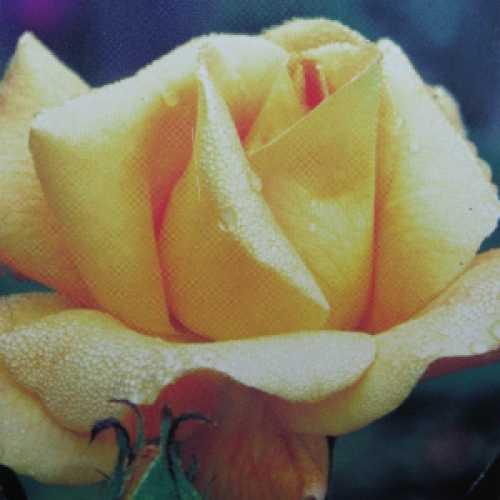 Glenfiddich Floribunda Rose