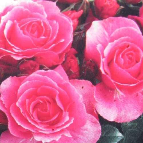 You're Beautiful Floribunda Rose Rose Of The Year 2013 Gold Standard Award