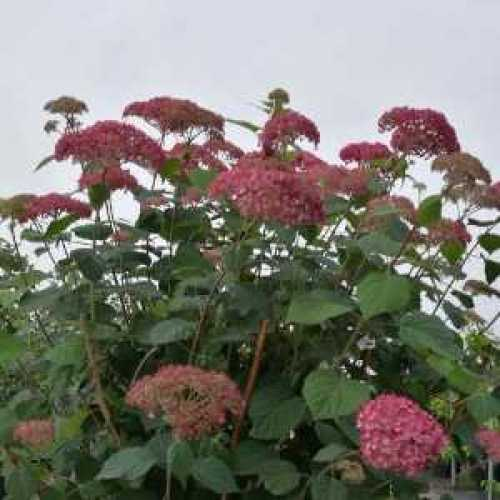 Hydrangea Arborescens Pink Annabelle II Proven Winners