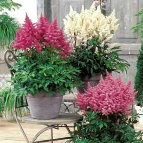 Astilbe Mixed x 3