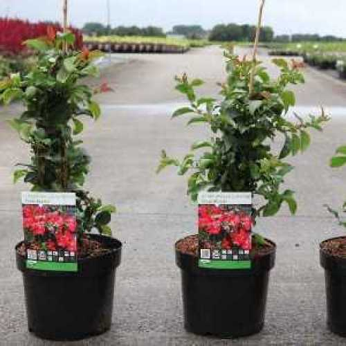 Chaenomeles Superba Texas Scarlet Flowering Quince