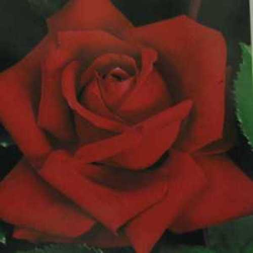 Rose Bush Hybrid Tea Christian Dior 4ltr