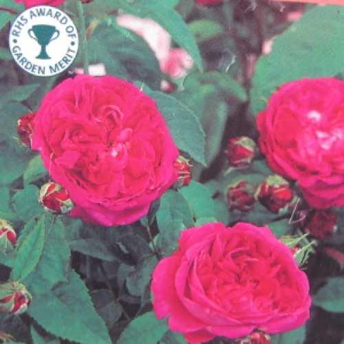 Reine Des Violettes Hybrid Tea Rose
