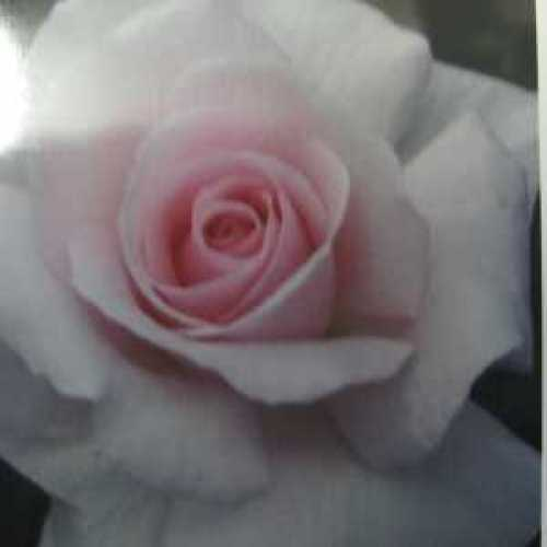 A Whiter Shade of Pale (Peafanfare) Hybrid Tea Rose