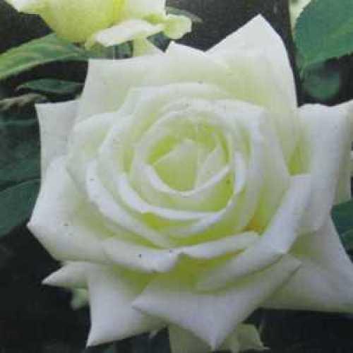 Polar Star (Tanlarpost) Hybrid Tea Rose