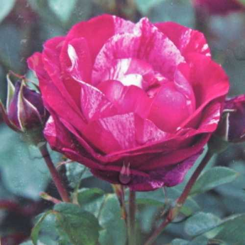 Henri Matisse Hybrid Tea Rose