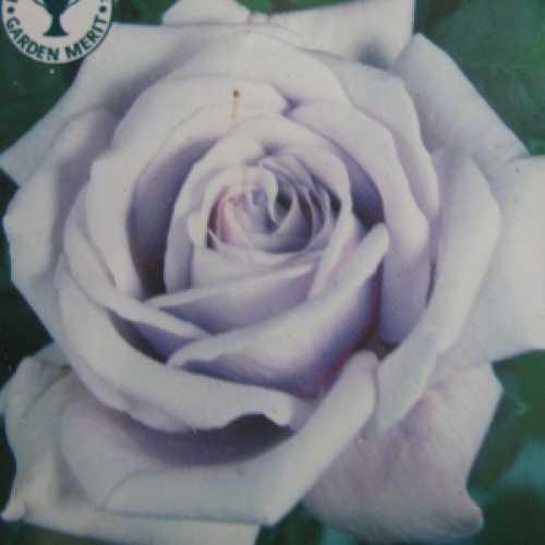 Twice In A Blue Moon Hybrid Tea Rose