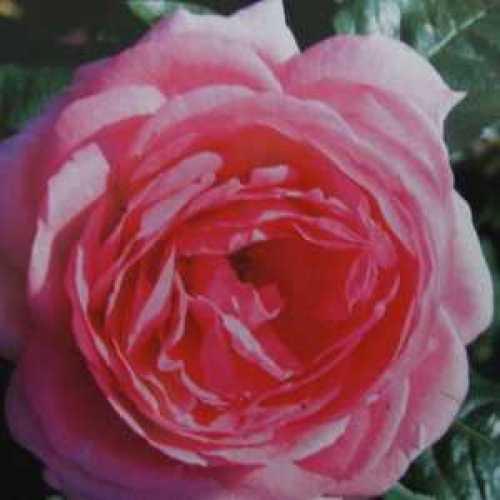 Mum in a Million Hybrid Tea Rose