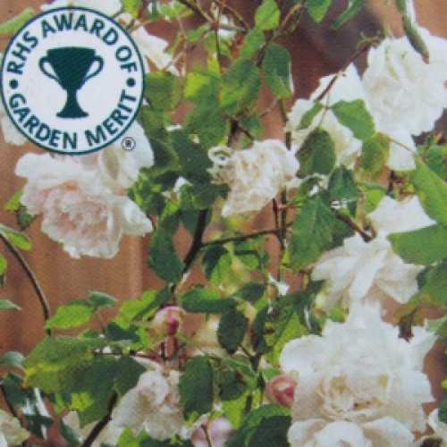 Madame Alfred Carriere Climbing Rose
