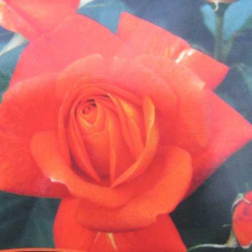 Super Trouper (Fryleyeca) Floribunda Rose