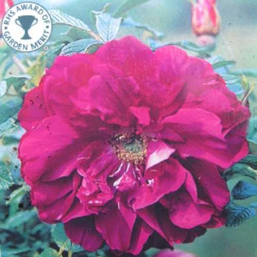 Roseraie Rugosa De L'Hay Shrub Rose RHS Award of Garden Merit