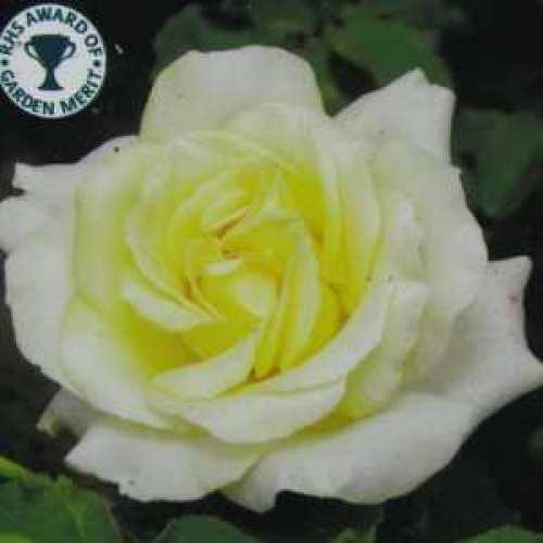Elina Hybrid Tea Rose RHS Award of Garden Merit