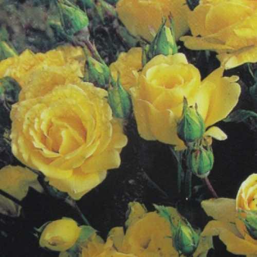 Sunsilk Floribunda Rose