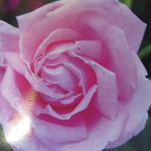 Conrad F. Meyer Shrub Rose