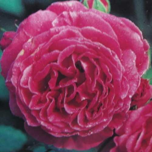 Madame Isaac Pereire Shrub Rose