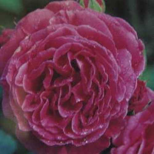 Madame Isaac Pereire Shrub Rose