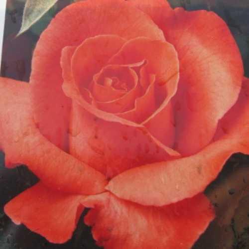 Duke of Windsor Hybrid Tea Rose