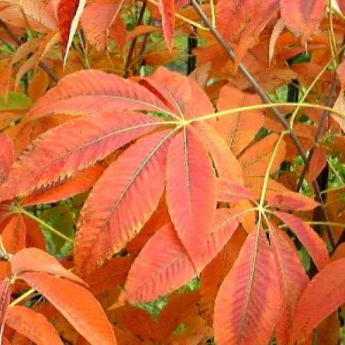 Buy Mature Aesculus Neglecta Autumn Fire Tree Buy Yellow