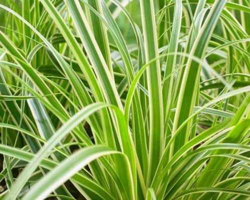 Carex Oshimensis EVERCREAM Ornamental Grass