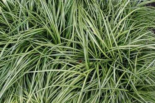Carex Oshimensis EVERSHEEN Ornamental Grass