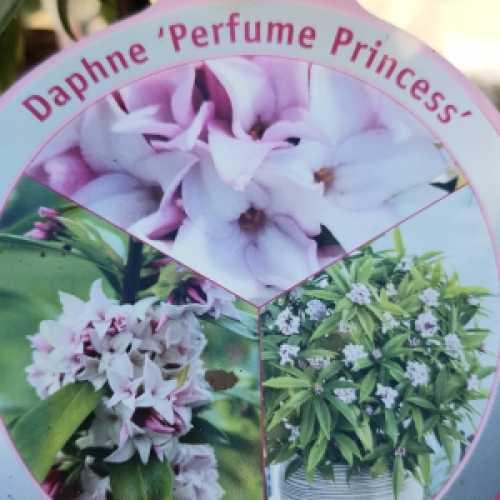 Daphne Perfume Princess