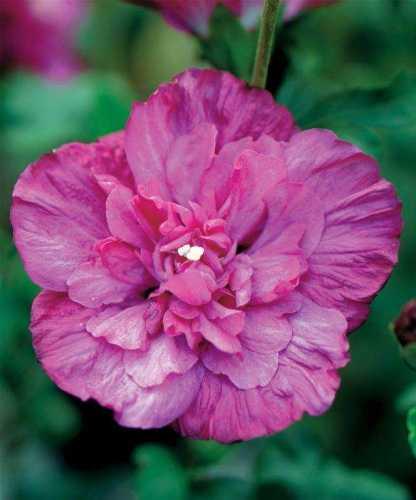 Hibiscus Syriacus Magenta Chiffon