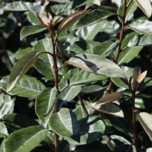 Elaeagnus Ebbingei Oleaster