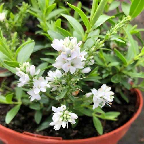 Hebe Garden Beauty White