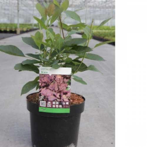 Cotinus Coggygria Grace Smoke Bush