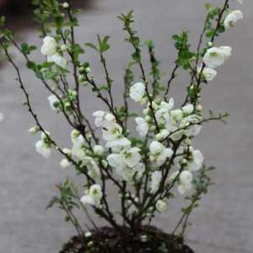 Chaenomeles Superba Jet Trail | Flowering Quince