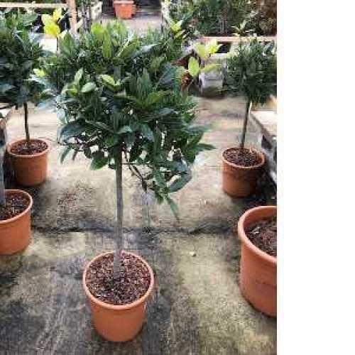 Bay (Laurus Nobilis) Mini Standard 40cm clear stem, 35cm head 10ltr