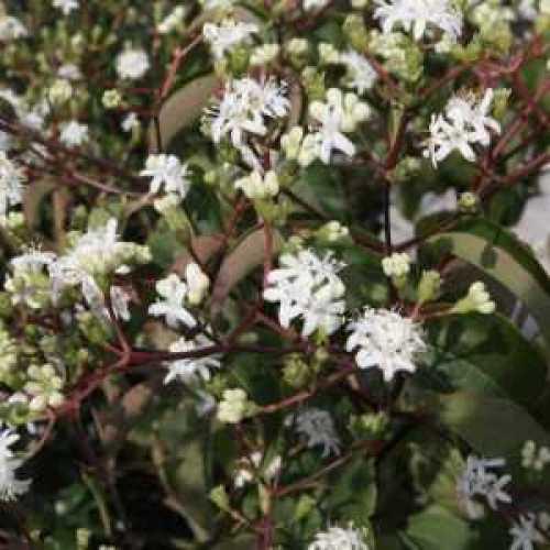 Heptacodium Miconioides Seven Sons Tree