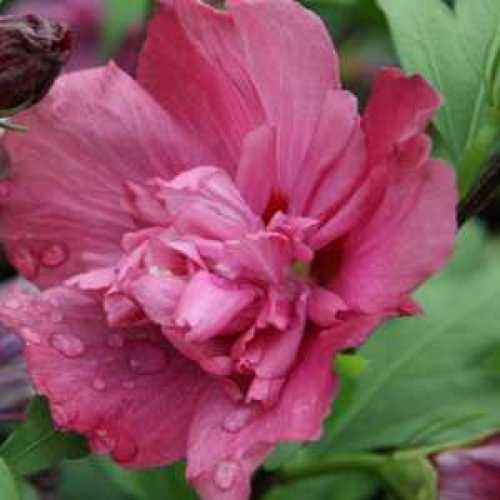 Hibiscus Syriacus Freedom Rose of Sharon