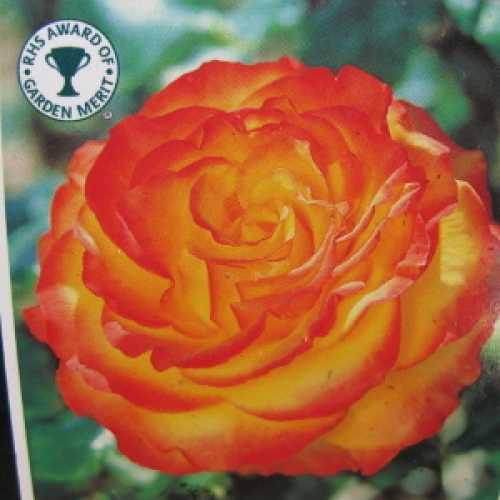 Tequila Sunrise Hybrid Tea Rose