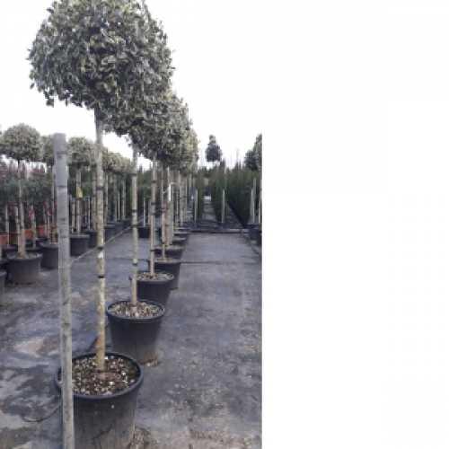 Ilex Aquifolium Argentea Marginata (Silver Margined English Holly) 3/4 Standard Lollipop Tree