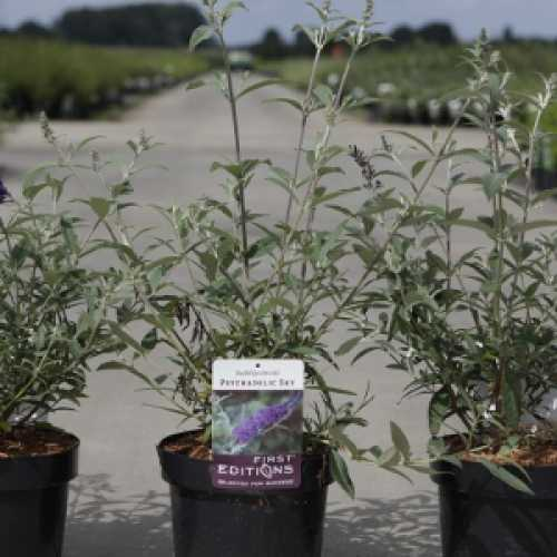 Buddleia Davidii Psychedelic Sky First Editions