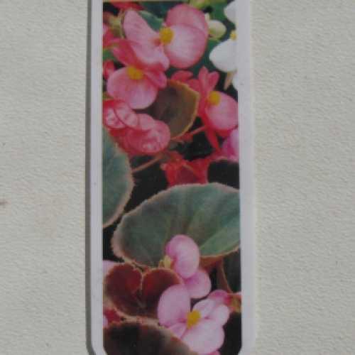 Begonia Semperflorens Dark Leaf Pack of 10