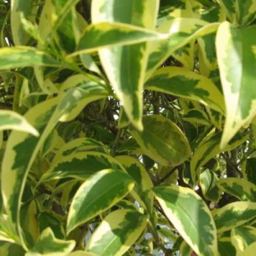 Ligustrum Excelsum Superbum 12-14cm girth Container Grown