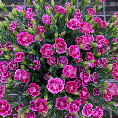 Dianthus Pink Kisses 1ltr