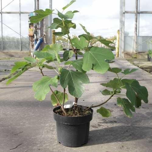 Ficus Carica 'Kadota'