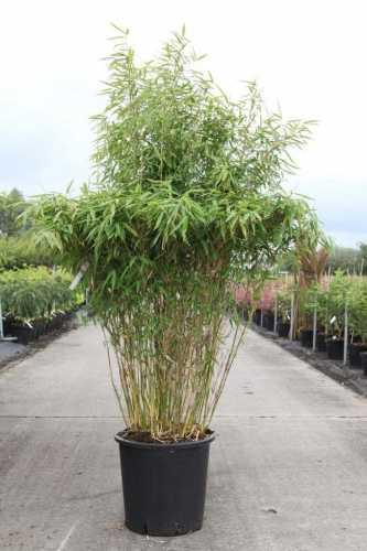 Fargesia Murielae 'Simba' Bamboo