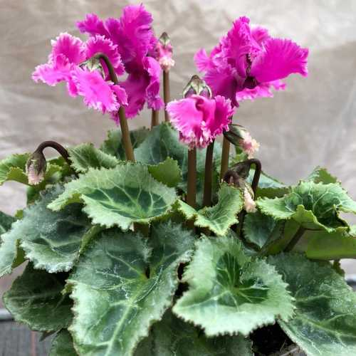 Cyclamen Winter Potted Mini 'Frilly'
