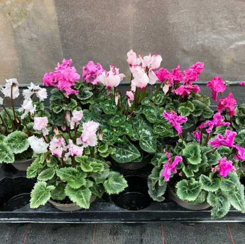 Cyclamen Winter Potted Mini 'Frilly' Tray Of 6