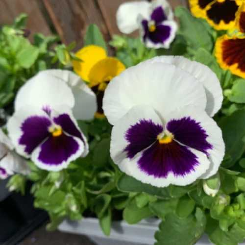 Pansy Winter Flowering (Pansies) Bedding Plants Mixed Colours - 6 Per Tray