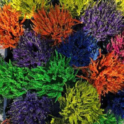 Calluna Vulgaris (Heather) Electric Colours