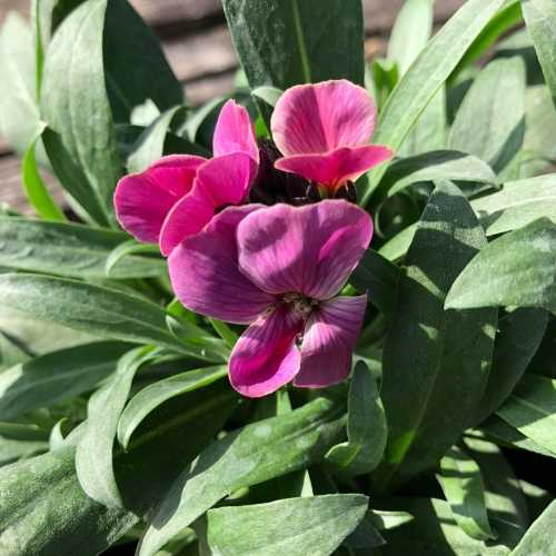 Wallflower Pot Mixed Colours