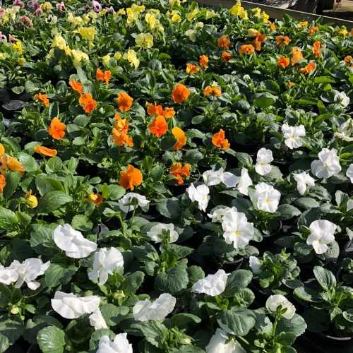 Pansy Potted plants
