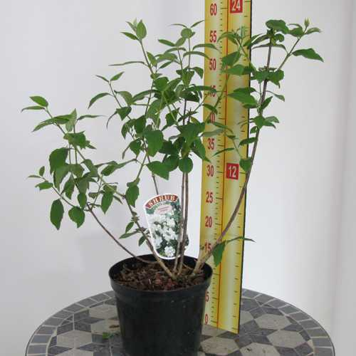 Philadelphus 'Virginal' (Mock Orange Tree)
